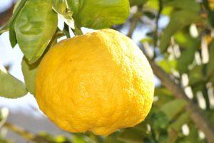 lemon-181650_1280